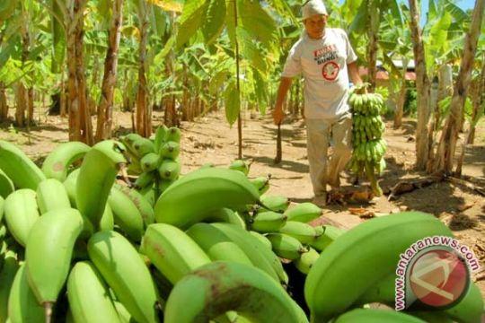 Petani pisang Sulawesi Selatan hadapi kendala pemasaran