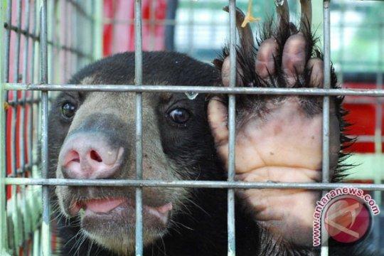 Beruang Madu Jadi Sasaran Berburu di Aceh Selatan