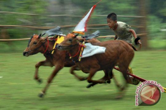 Pemkab Lombok Barat gaungkan acara karapan sapi