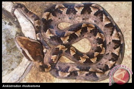 Kemenkes segera susun regulasi pengobatan gigitan ular