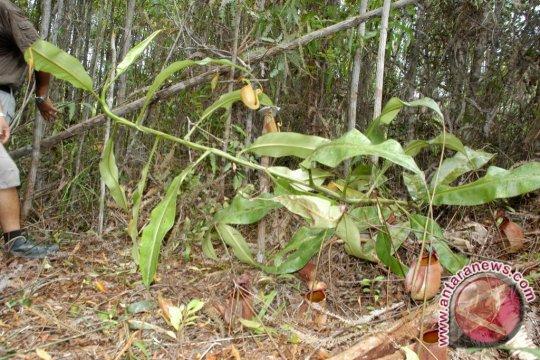 Pakar: Dunia akan kehilangan jika Nepenthes clipeata punah