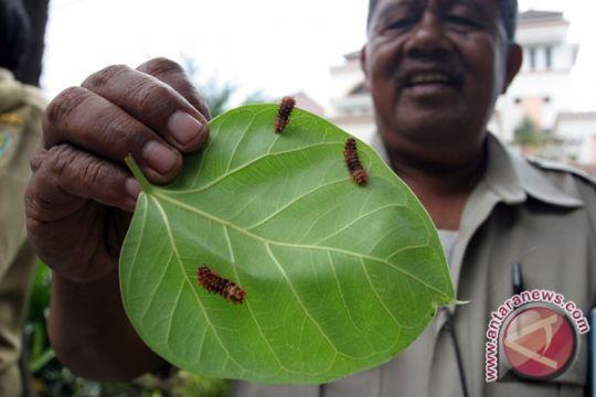 Ribuan Ulat Bulu Serang Pohon Mangga di Jambi