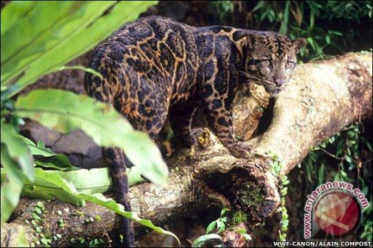 Macan dahan masuk ke permukiman warga di Palangka Raya
