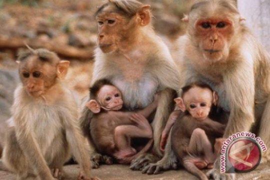 Puluhan Monyet Masuki Kota Barabai