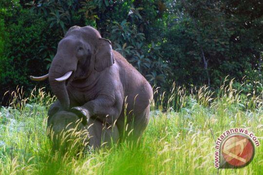 Kawanan gajah liar rusak kebun sawit warga Rokan Hulu