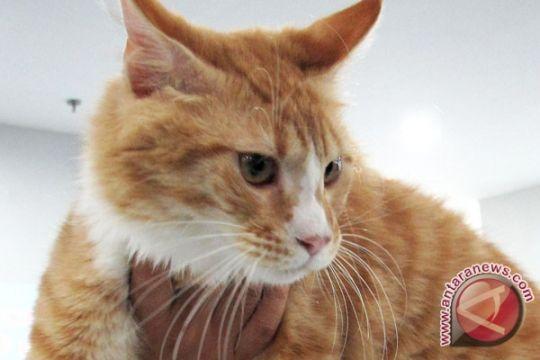Kucing liar Australia berlanglang buana sampai Irlandia Utara