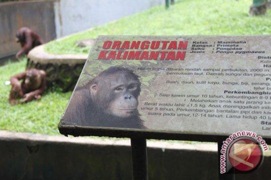 Habitat orangutan terancam aktivitas pertambangan