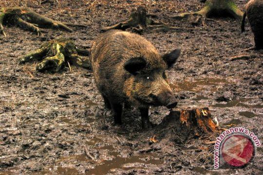 Anak delapan tahun terluka diseruduk babi hutan