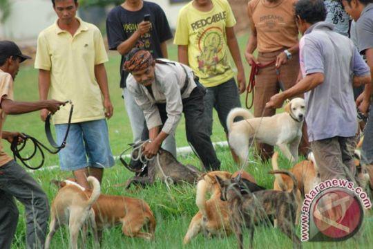 Polisi dilibatkan buru babi yang serang petani