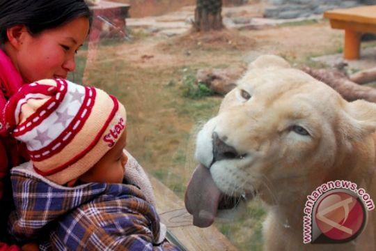 Taman Safari Prigen Pasuruan menambah koleksi singa putih