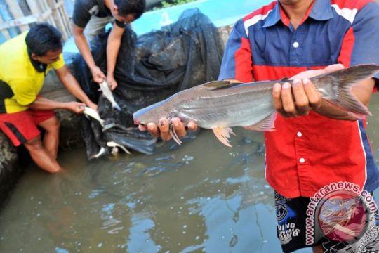 Ribuan ikan patin mati, kelompok tani merugi