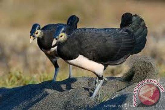 Burung gosong kaki-merah masih hidup di NTT