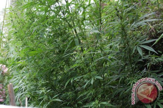 TNI temukan 32 hektare ladang ganja di Mandailing Natal