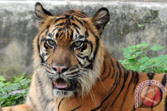 Patroli Sapu Jerat perlambat kepunahan harimau Sumatera