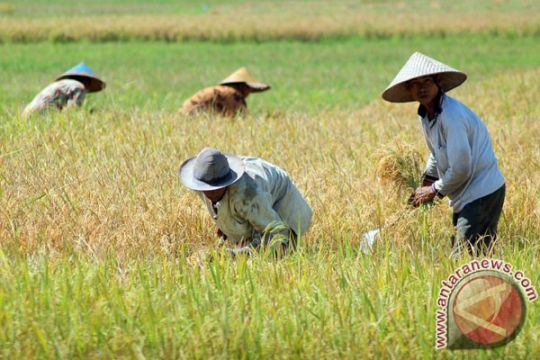 Awal Maret Bantul panen raya padi seluas 7.549 hektare