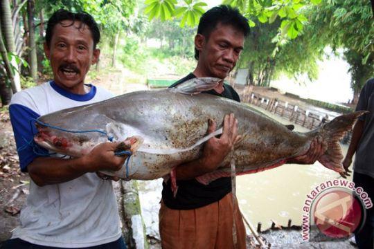 Omega-3 banyak terdapat di abdomen ikan patin