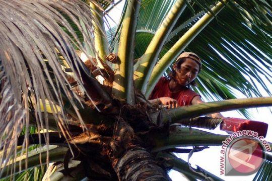 Kerajinan kursi pohon kelapa banyak diminati