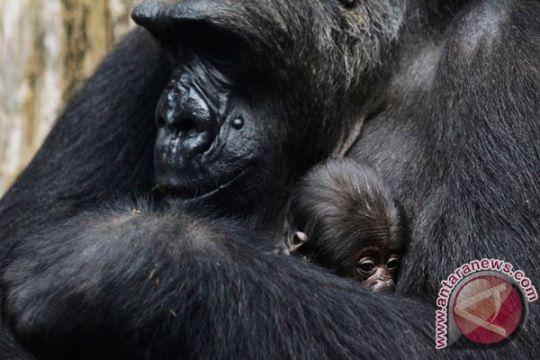 Bayi gorila dilahirkan lewat operasi sesar langka di Inggris