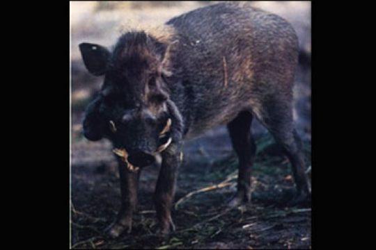 Seorang petani di Mukomuko tewas diserang babi hutan