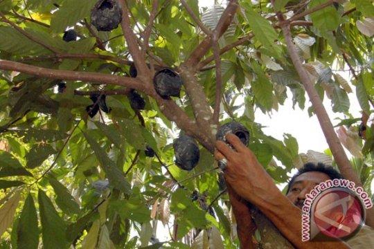 Kakao dengan teknik sambung samping dikembangkan Aceh Utara