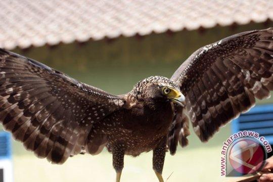 BKSDA Yogyakarta lepasliarkan elang ular bido