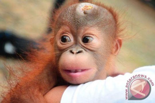 BKSDA Sampit amankan bayi orangutan