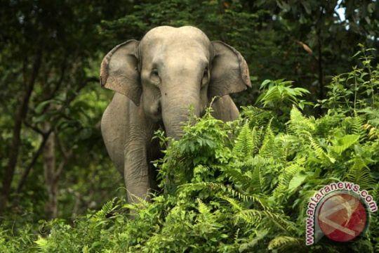 Gajah liar Riau kenakan kalung GPS