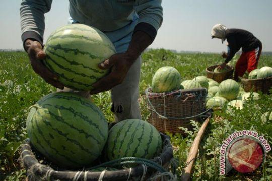 Panenan semangka di kebun tentara di Kuansing capai 40 ton