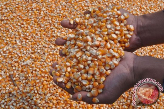 Stabilkan harga, Bulog serap 11 ton jagung Lampung Timur
