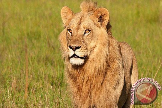 Singa jantan bunuh singa betina di kebun binatang