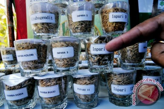 Unsoed Purwokerto rakit varietas padi rendah gula