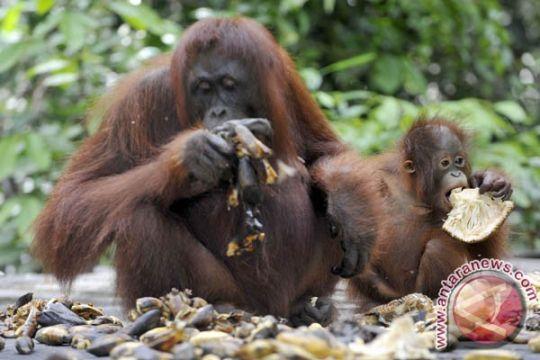 Orangutan Sumatra terancam punah