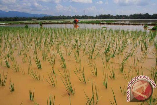 Petani Indramayu tunda tanam padi