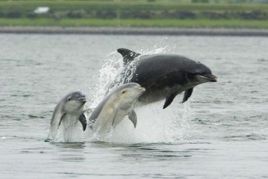 Seekor lumba-lumba terdampar di perairan Cirebon