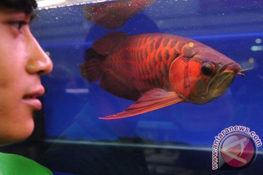 Sepuluh Arwana Super Red dikembalikan ke habitat aslinya