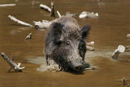 Warga Solok Selatan sekarat diseruduk babi hutan