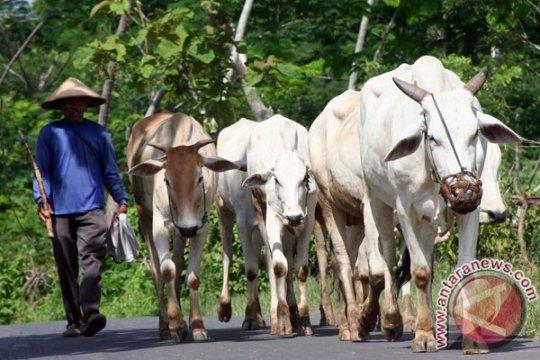 Program integrasi sapi-sawit dilakukan setelah ujicoba