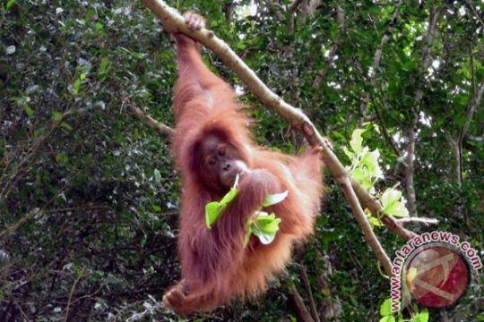 OIC apresiasi BKSDA sita Orangutan Sumatra