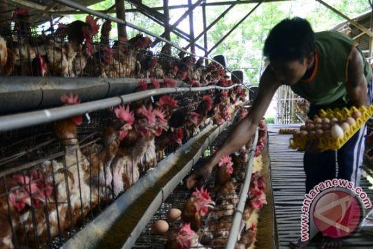 Harvest Papua putarkan lagu untuk hibur 23.000 ayam petelur