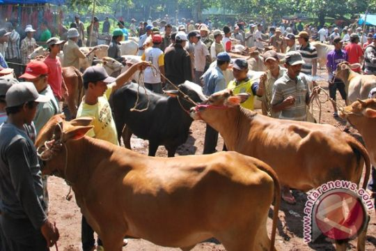 Harga sapi kurban di Bogor naik 20 persen