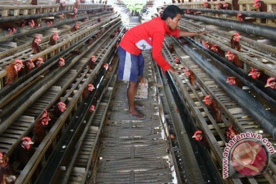 70 persen peternakan ayam petelur di Pulau Jawa dikuasai asing