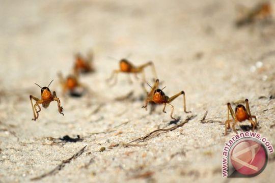 Populasi belalang mulai mengancam Afrika