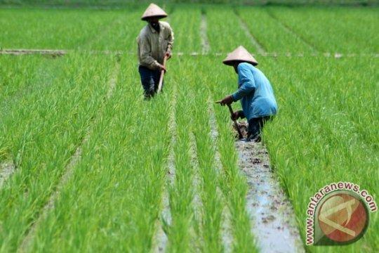 KTNA: petani hadapi musim tak bersahabat