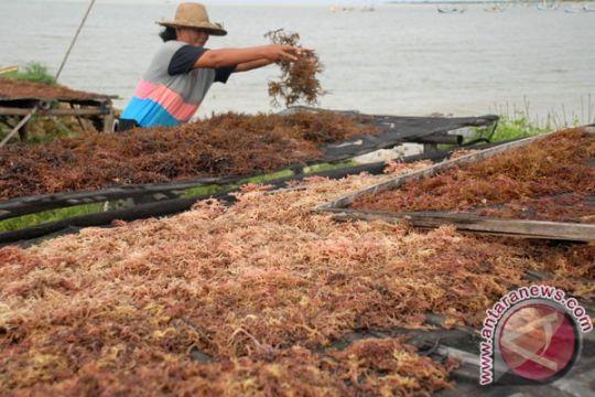 Rumput laut Indonesia belum kuasai pasar internasional