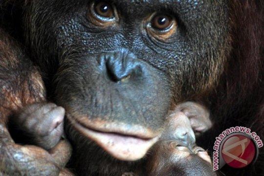 Bukit Batikap hanya mampu tampung 200 orangutan