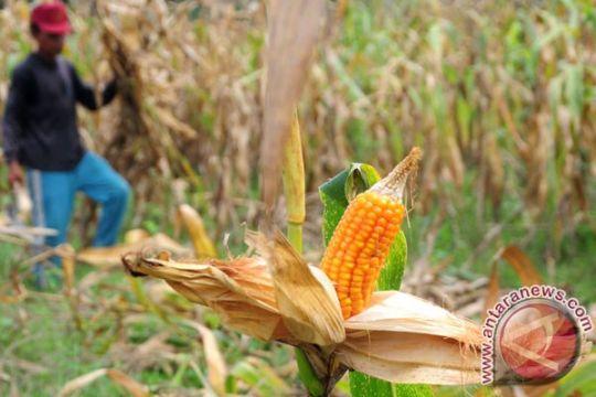 Kementan imbau petani tanam palawija antisipasi El Nino
