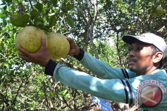 IPB: jeruk pamelo potensial dikembangkan