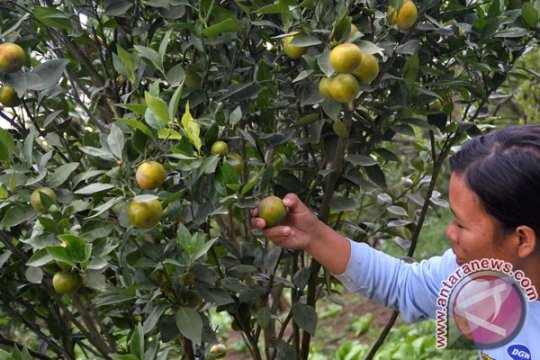 Kubu Raya dukung pengembangan budidaya jeruk keprok
