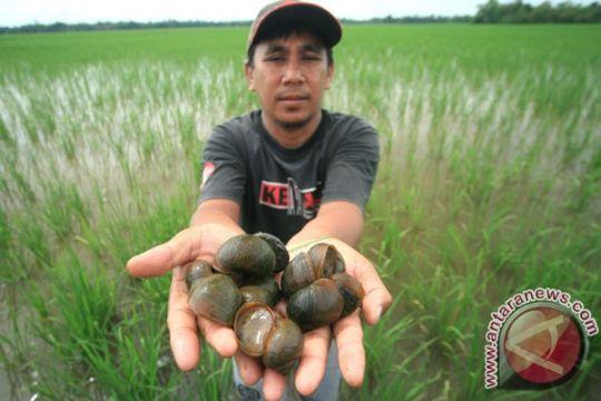 Hama serang tanaman padi petani Suko Mananti di Pasaman Barat