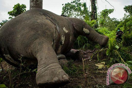 Gajah mati ditemukan di Aceh Barat